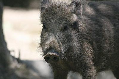Wild boar stock