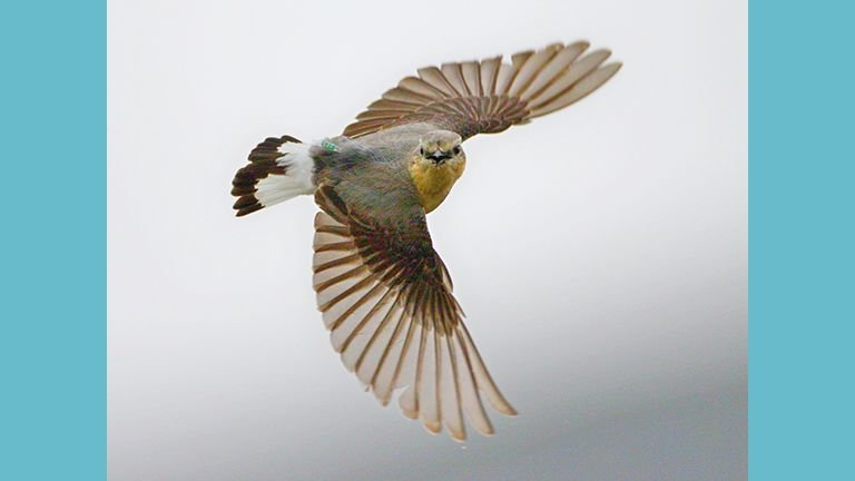 Northern Wheatear in Flight