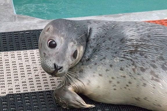 Harbor Seal Outside Pool.jpg