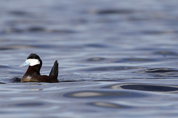 2. Ruddy duck by Adam Grimm.JPG