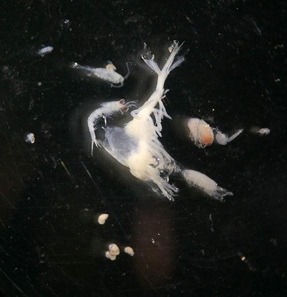 Zooplankton under microscope