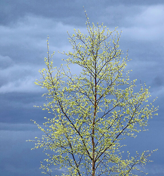 Birch tree greenup
