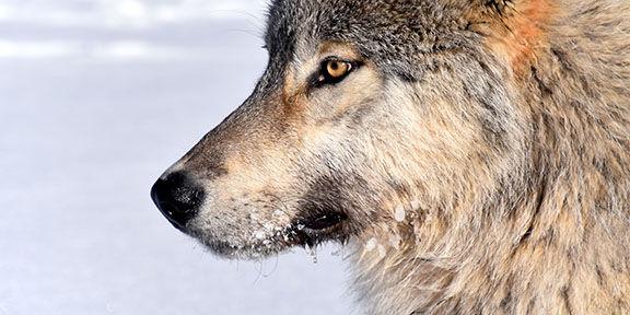 Yukon-Charley wolf