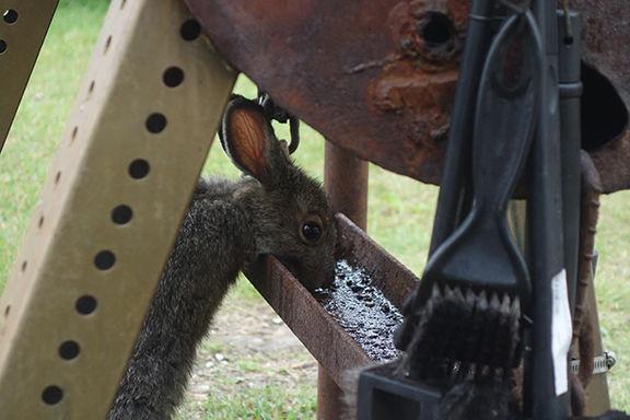 clutch hare.jpg