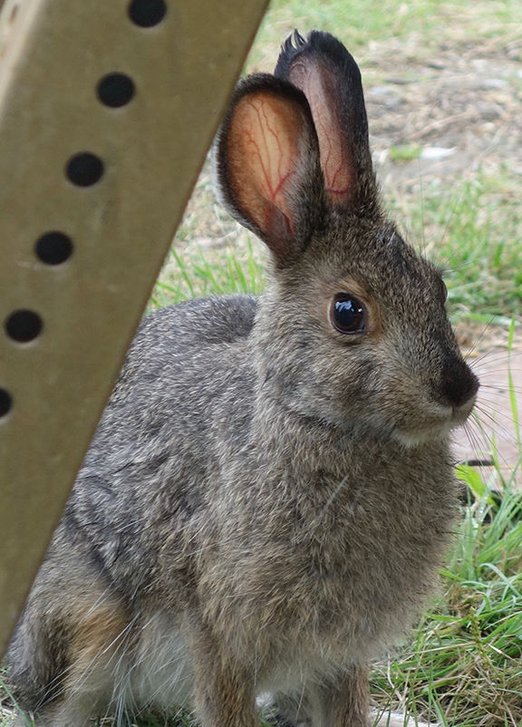 hare 2.jpg