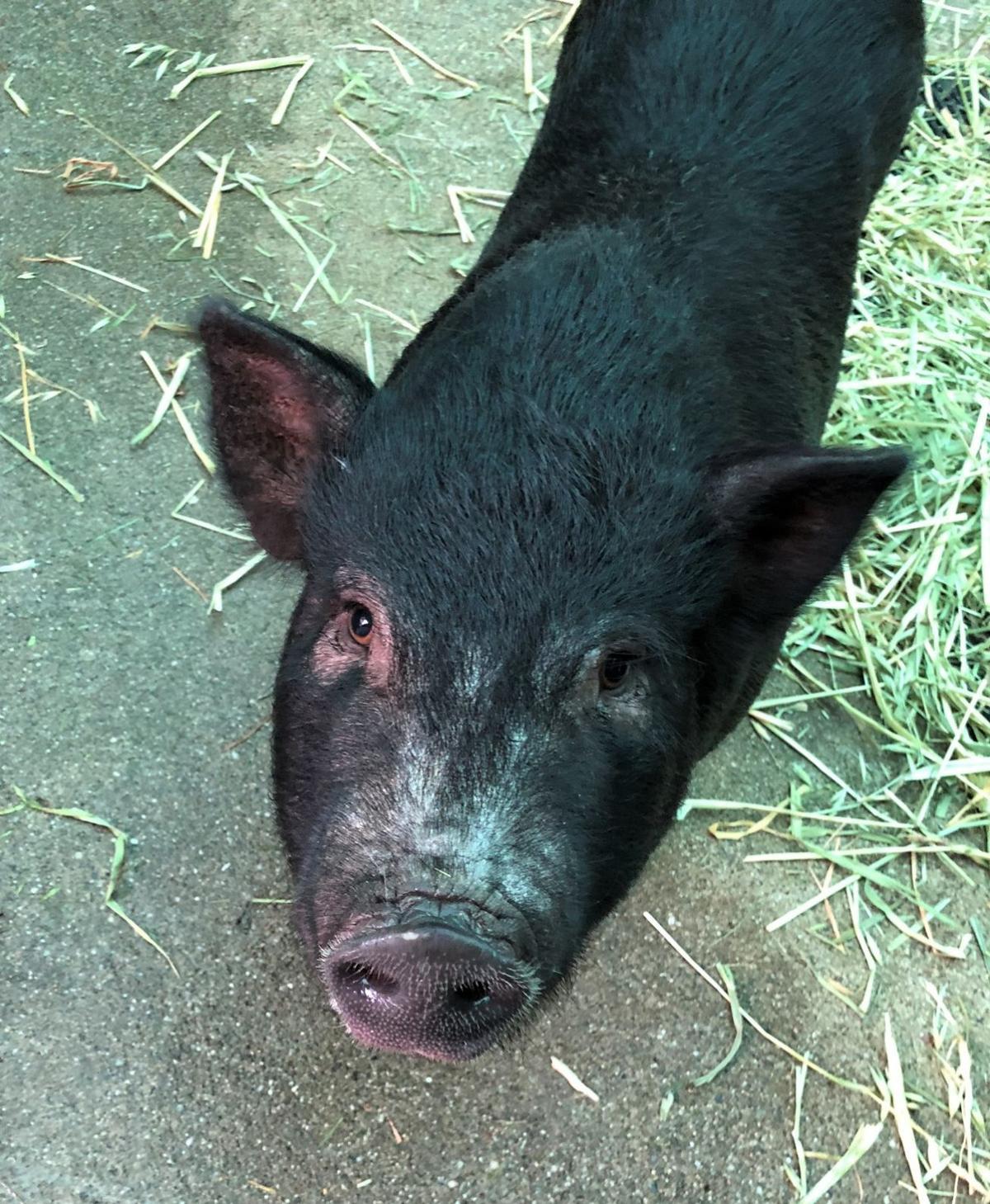 Piggy Smalls 2.jpeg
