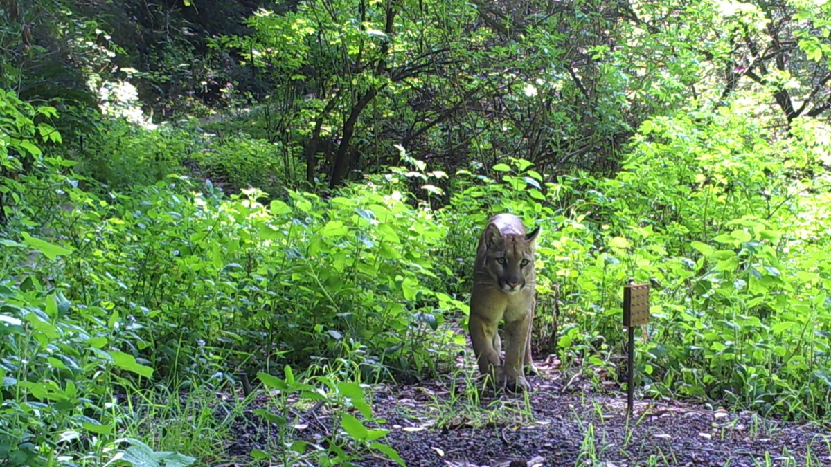 San Mateo County sees increase in lion sightings