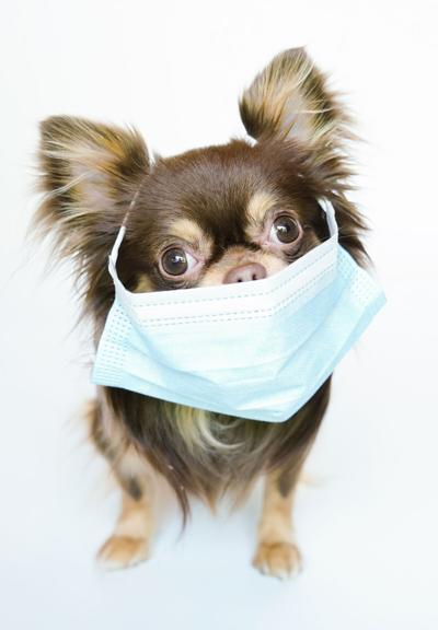 A,Long,Hair,Chihuahua,Dog,In,A,Surgical,Medical,Mask