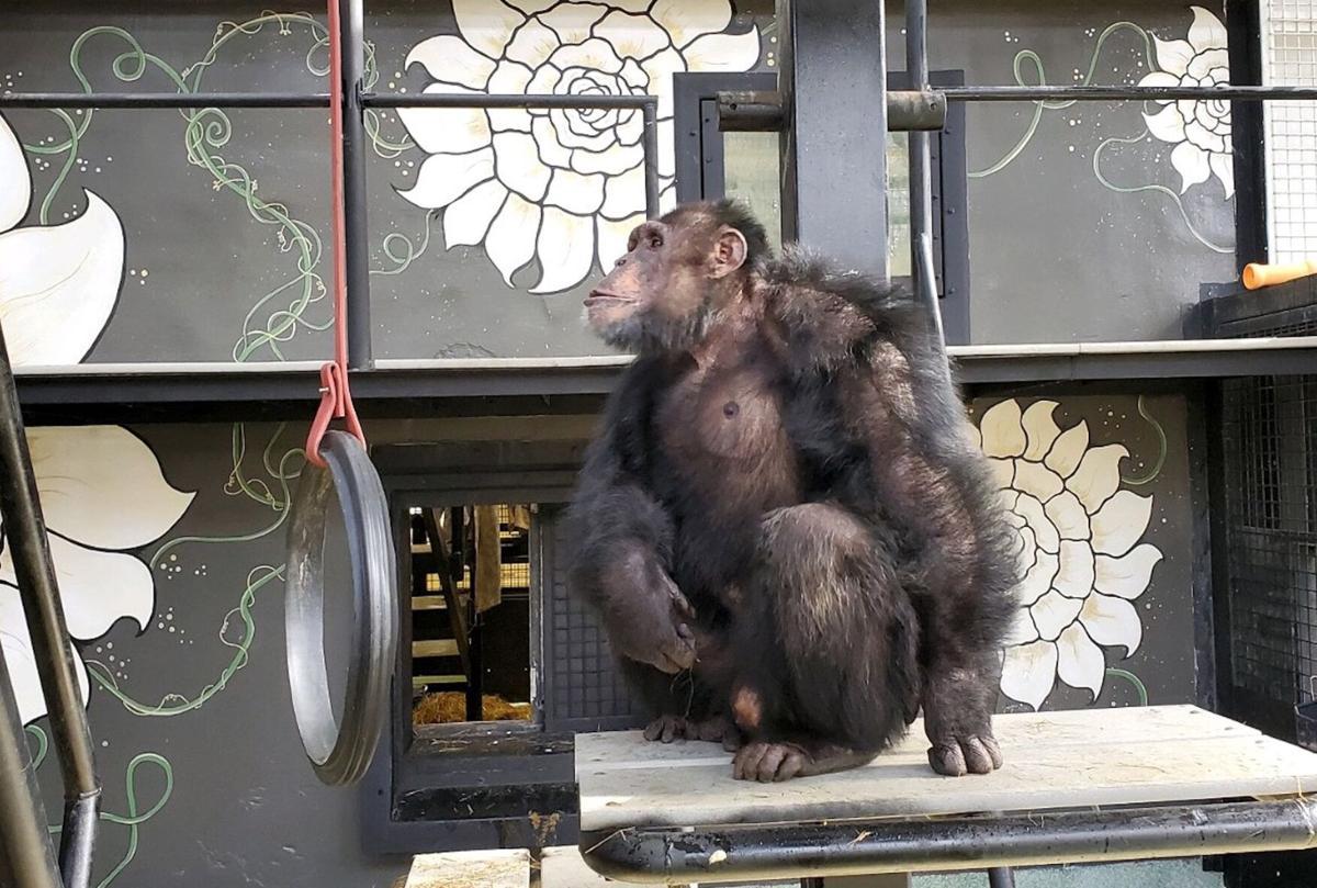 After Chimp