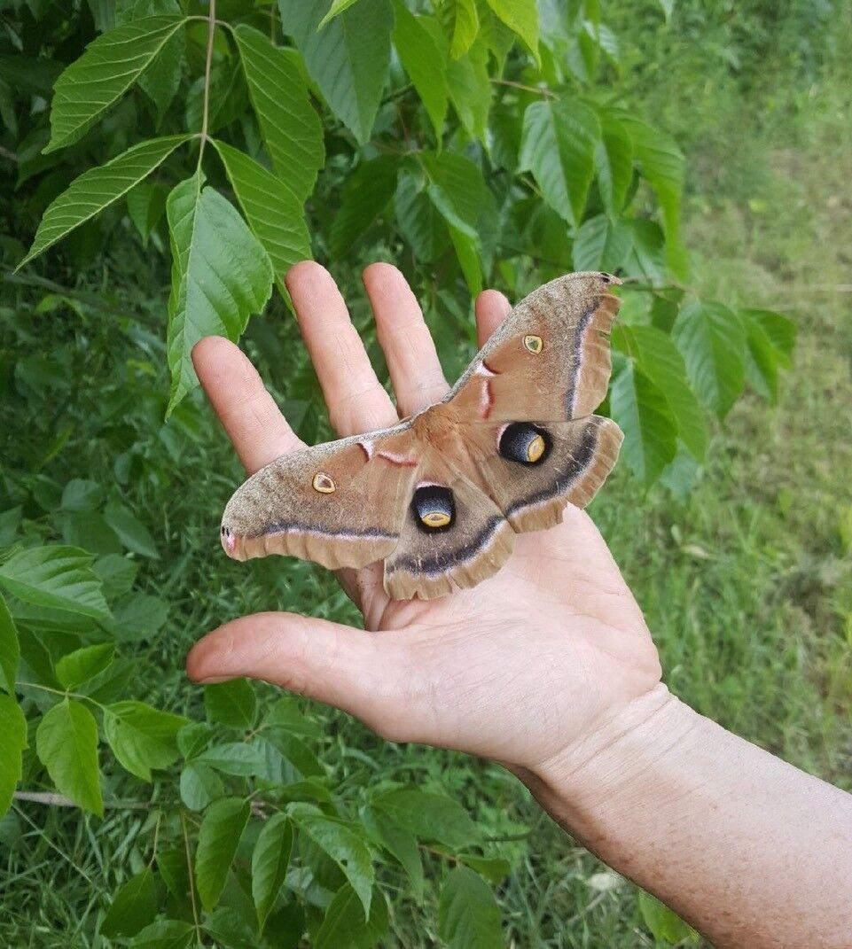 Polyphemus moth on Katy's hand.