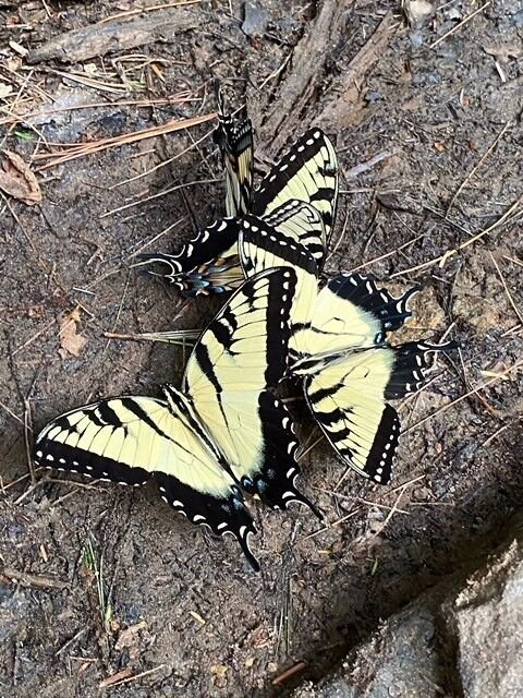 Eastern Tiger Swallowtails puddling for minerals.