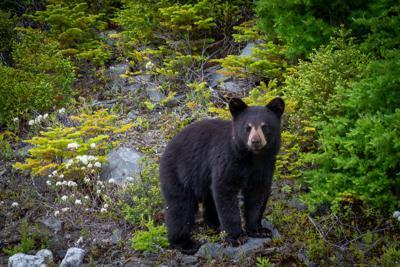 Black Bear Project