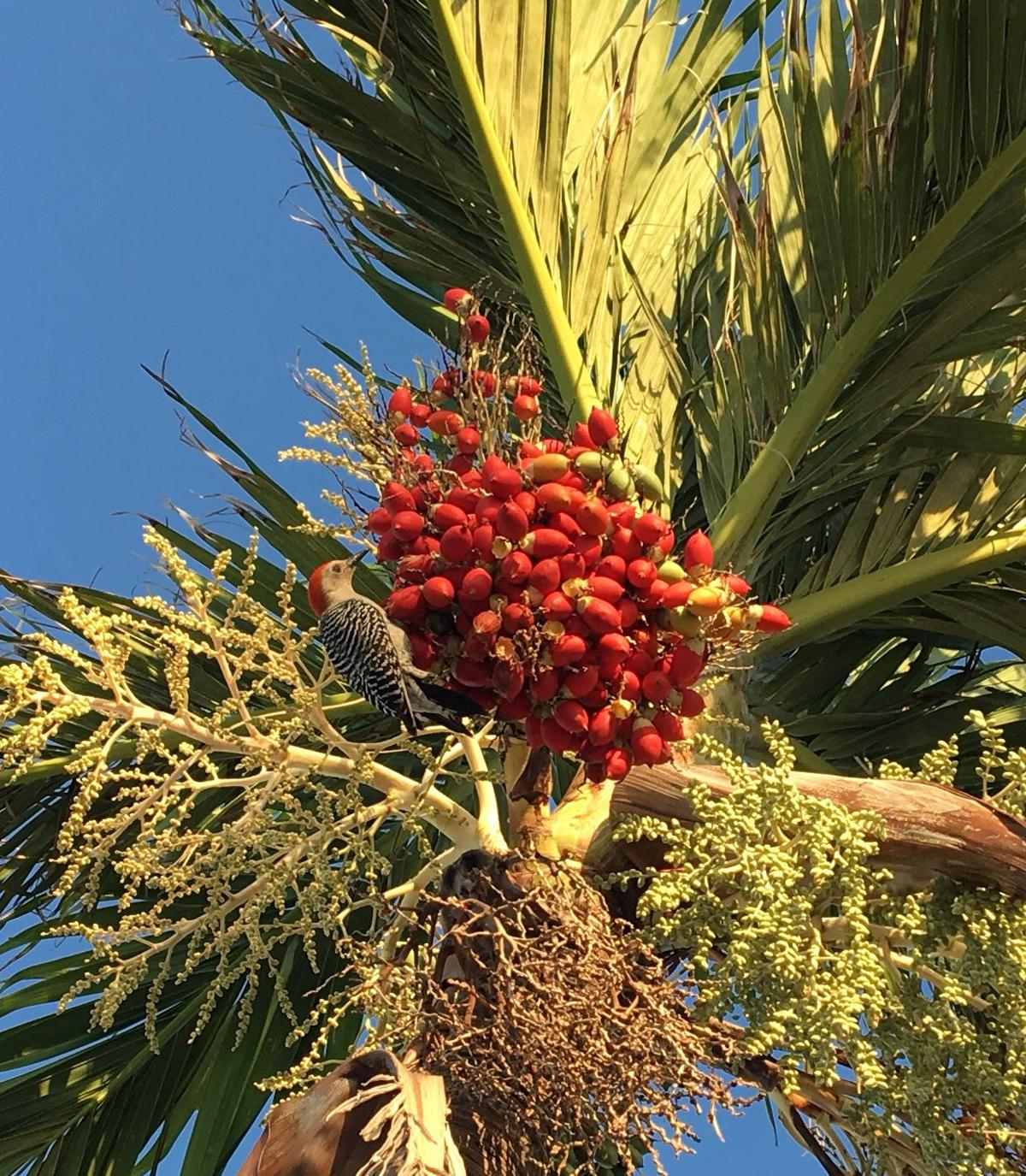 Red bellied woodpecker feeding on Christmas palm berries.