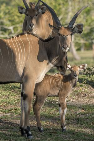 Giant eland and her calf
