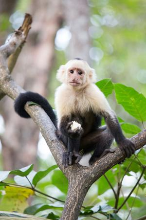 Capuchin monkey similiar to one of the