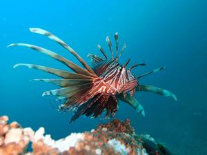 Lionfish, one of Florida's most invasive species.