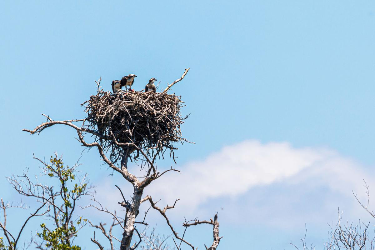Three Ospreys in their nest just south of the Flamingo Marina