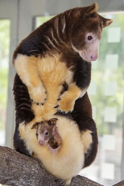 Momma and joey tree kangaroo at  Zoo Miami.