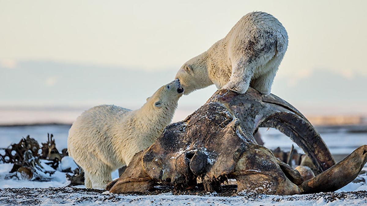Polar Bears on Bowhead Whale Skull