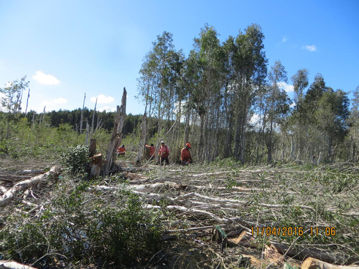 Melaleuca trees are invasive plants that can dramatically change the landscape of the Everglades. Here, a FWC contract crew treats Melaleuca by cutting the stumps of the trees and then applying herbicide.