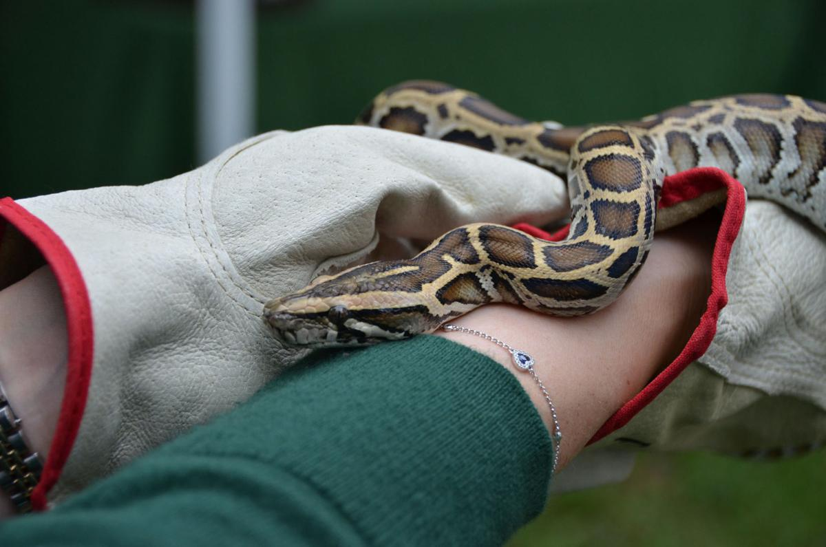 Up close and personal with a python.