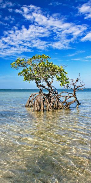 Card Sound Mangrove