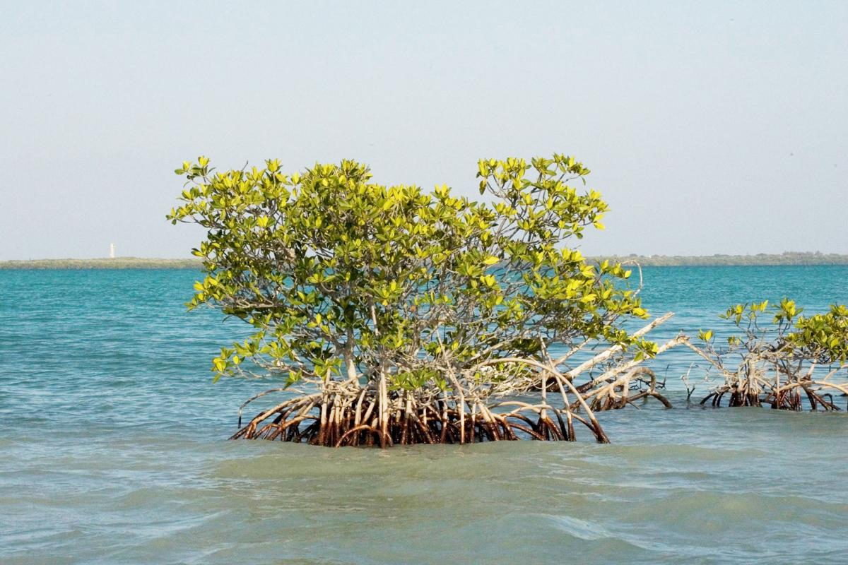 Red mangroves are common sights in Florida Bay.  They thrive in the estuarine environment where freshwater  and saltwater mix.