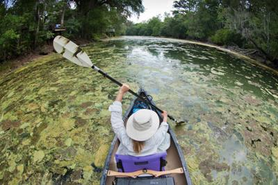 Algae Bloom takes over a canal in South Florida.