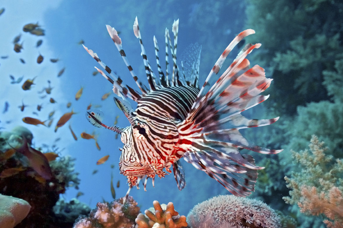 In 2019, 26,321 invasive  lionfish were removed from Florida waters.