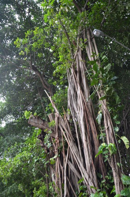 Tropical Storm Isaac Banyan Tree Debris