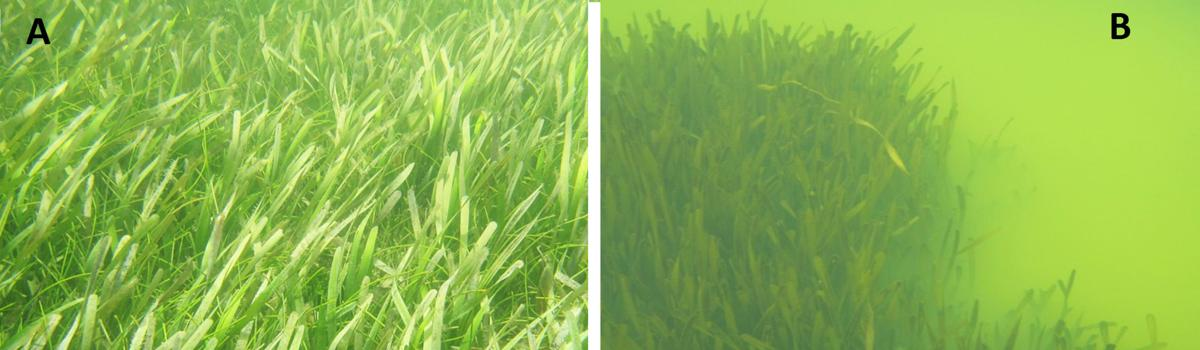 Seagrass is needed to support much of the life in Florida Bay. Figure A (left) is an example of what healthy seagrass should look like; Figure B is an example of unhealthy seagrass in poor water quality conditions. NPS photo