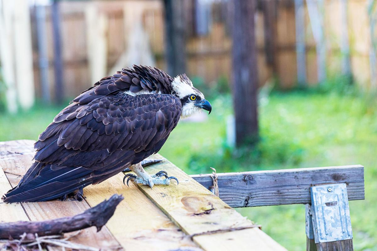 An osprey with suspected botulism poisoning perches in the flight cage.