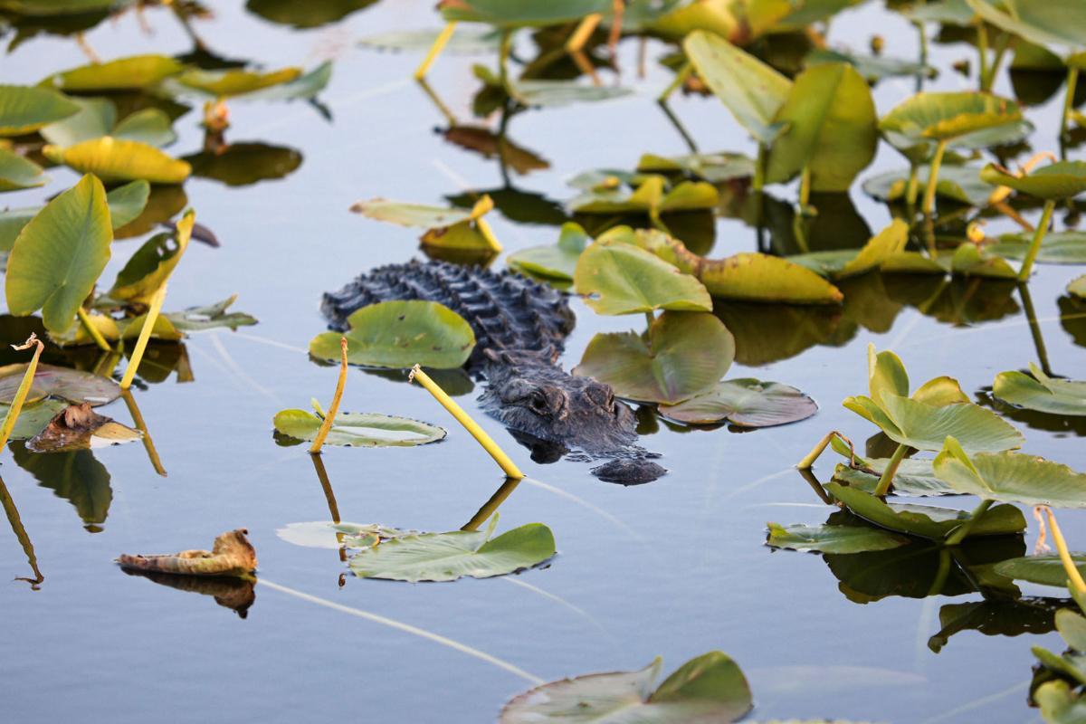 An alligator at Everglades National Park.