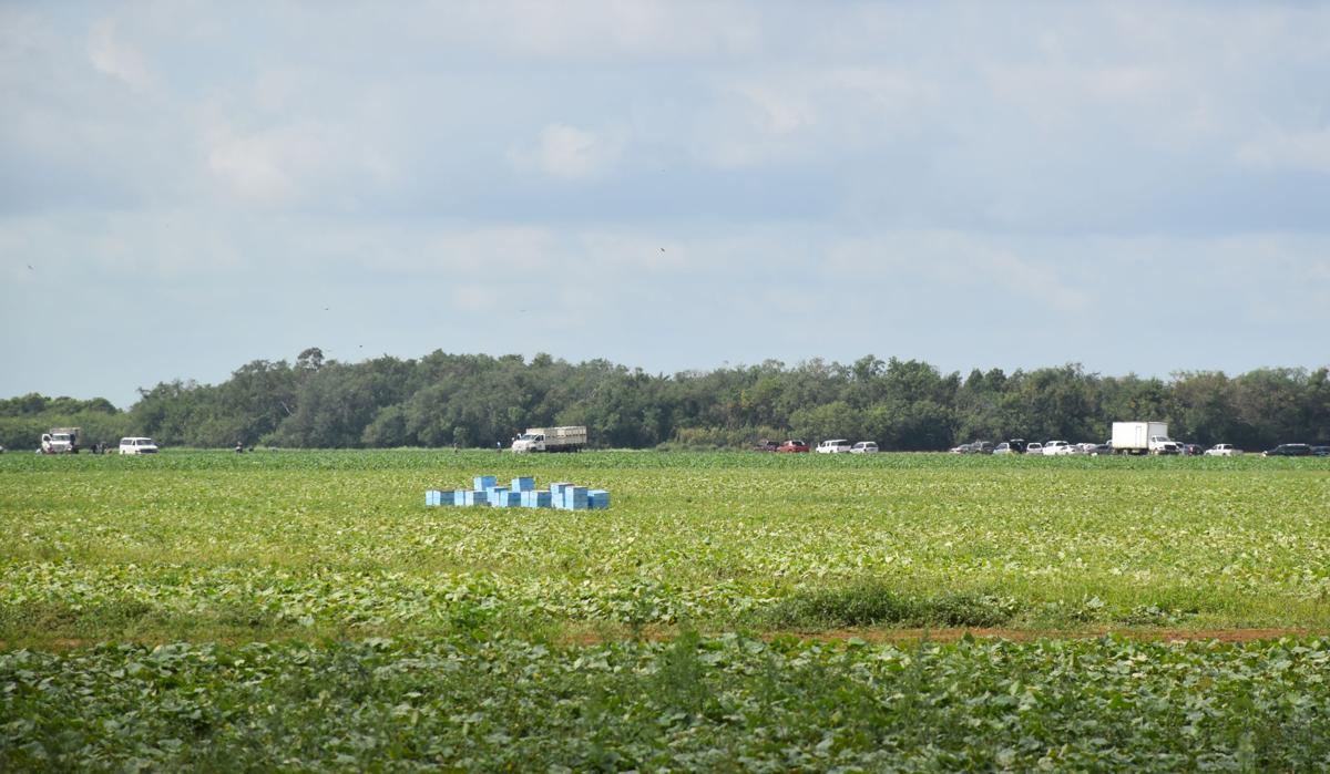 Farm workers were  harvesting in the  Redland on Tuesday.