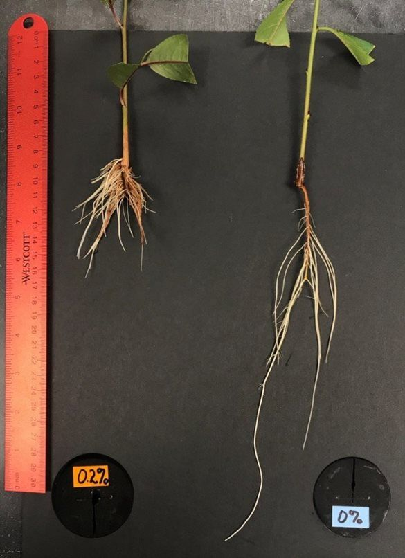 Variable peach tree roots