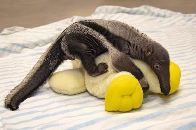 Newborn anteater