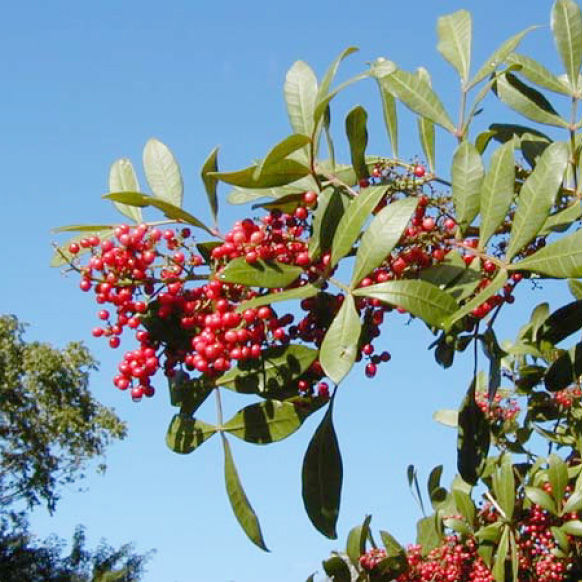 Brazilian pepper was brought to southern Florida in the 1800s  for use during the holidays because it produces red berries similar to European holly. It has since taken over and flourished in the park,  displacing many native species.