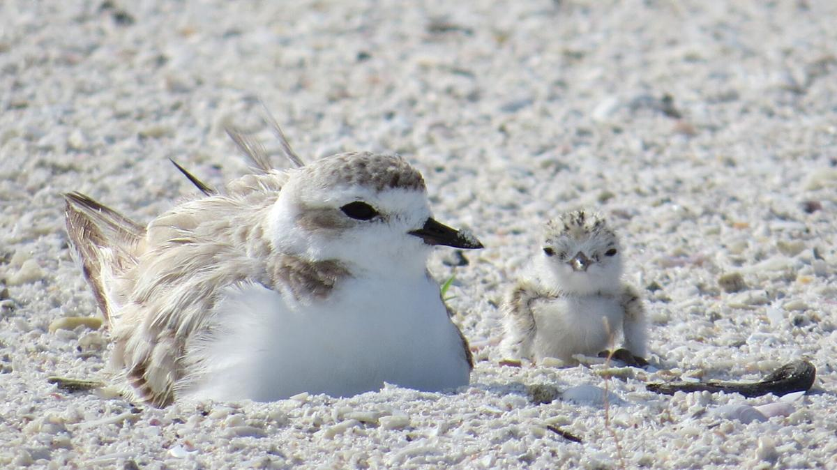 A well-camouflaged snowy plover and her chick.