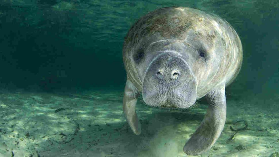 Go slow and protect the manatee