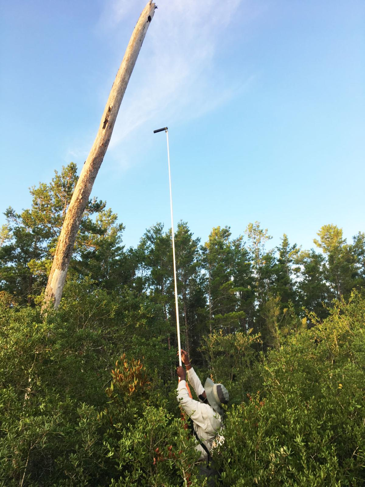 Homestead native and University of Florida student Herby Zephir in the field studying falcons and conservation.
