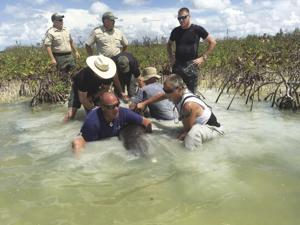 Releasing a stranded dolphin to safety