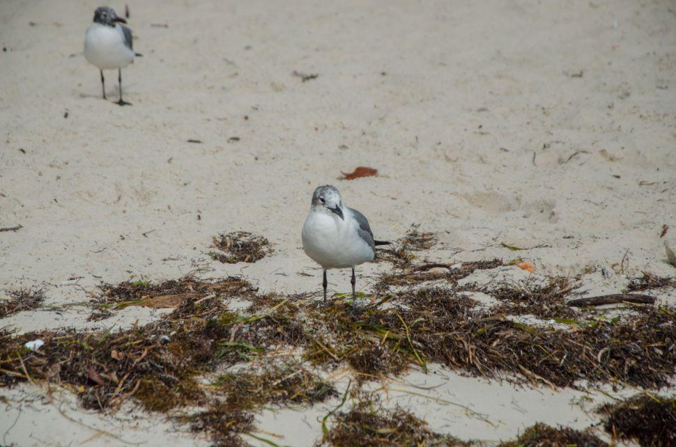Biscayne Seagulls