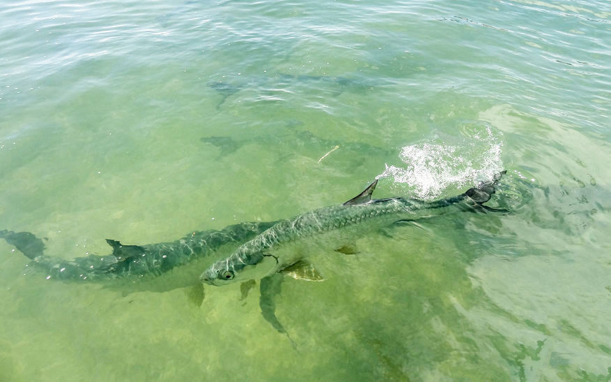 This tarpon is an example of an economically  important sportfish found  in Florida Bay. Their young grow faster and are thus better able to escape  predation in low salinity conditions.