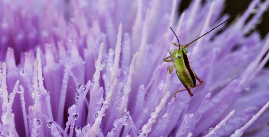 Bug on Thistle