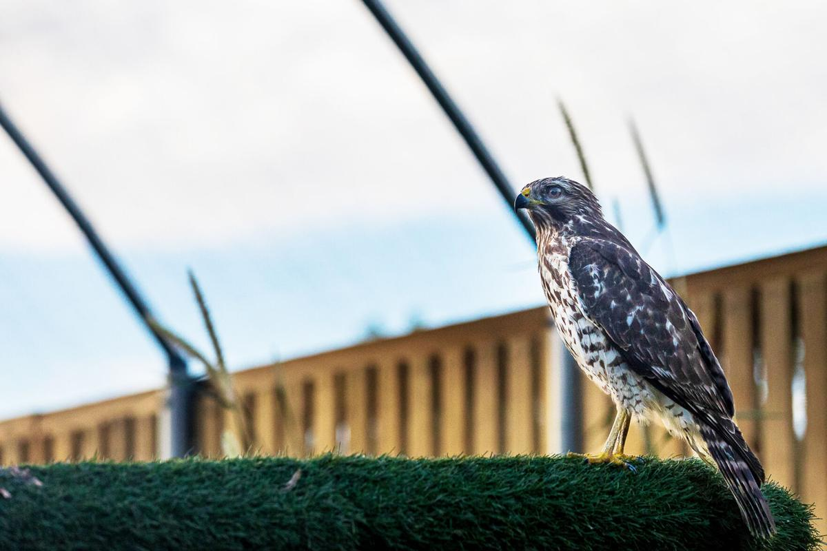 A red shouldered hawk, recovering from rodenticide  poisoning, sits on a perch in the Wildlife Rescue  flight cage.