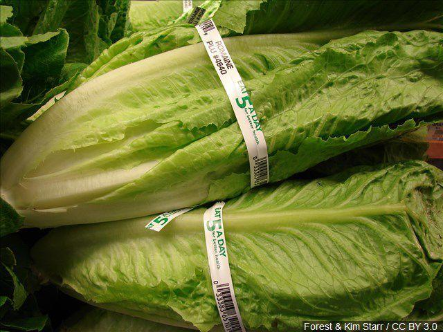Romaine lettuce grown in Florida is now safe to eat