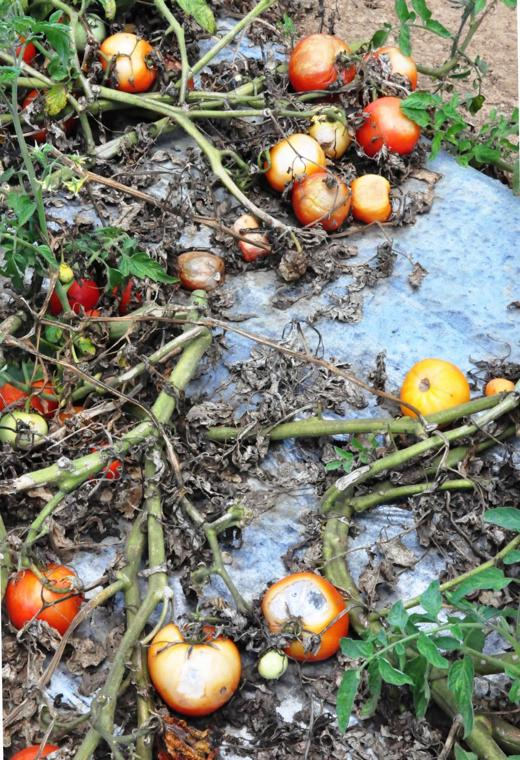 Tomato fields that S&L Farms can't afford to harvest, as illustrated by the ripe tomatoes rotting on the vine.