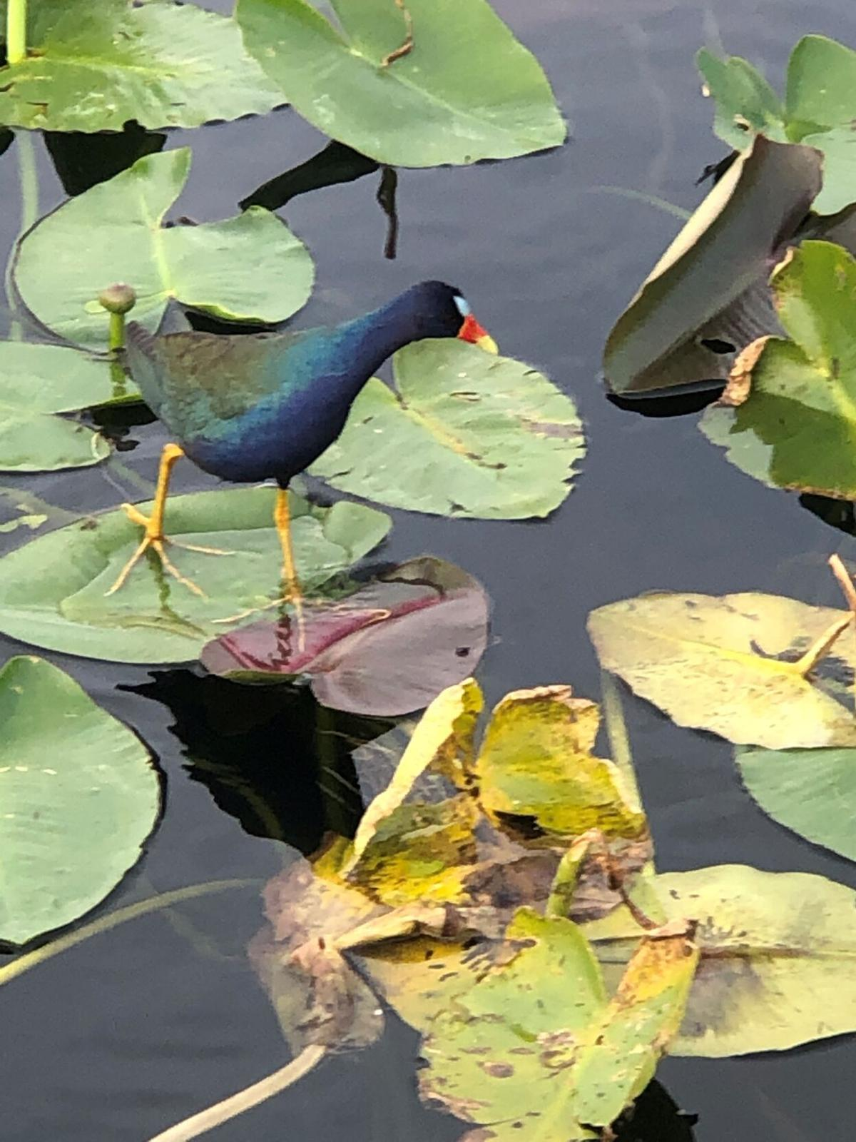 A purple gallinules - photographed recentlyon his trolley trip to Everglades National Park.