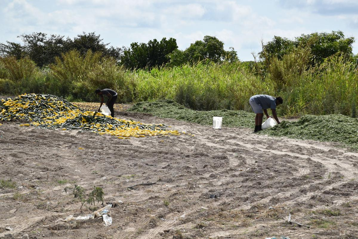 Men scavenge abandoned squash and beans in a farm field off Krome Ave.