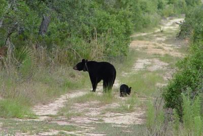 The black bear population in Florida continues to grow.